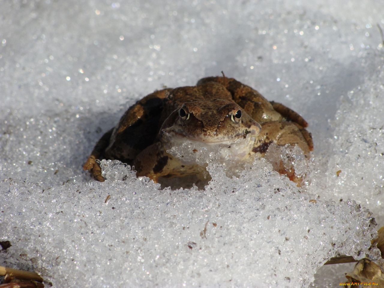 картинка лягушка спит зимой пластические операции